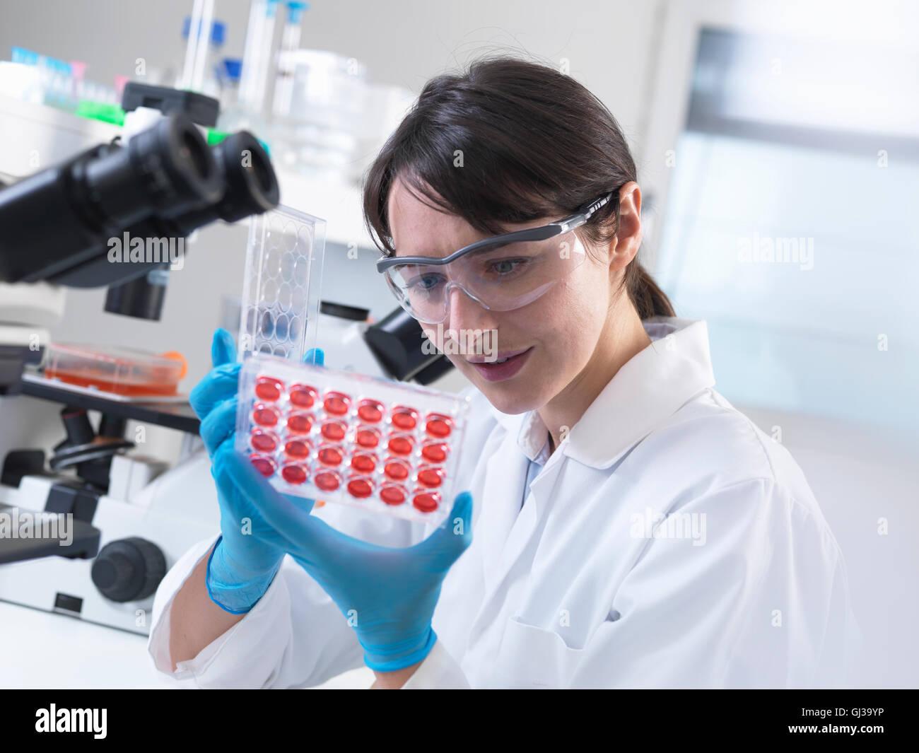 Wissenschaftler betrachten experimentellen Kulturen in multiwell Fach im Labor wachsen Stockbild