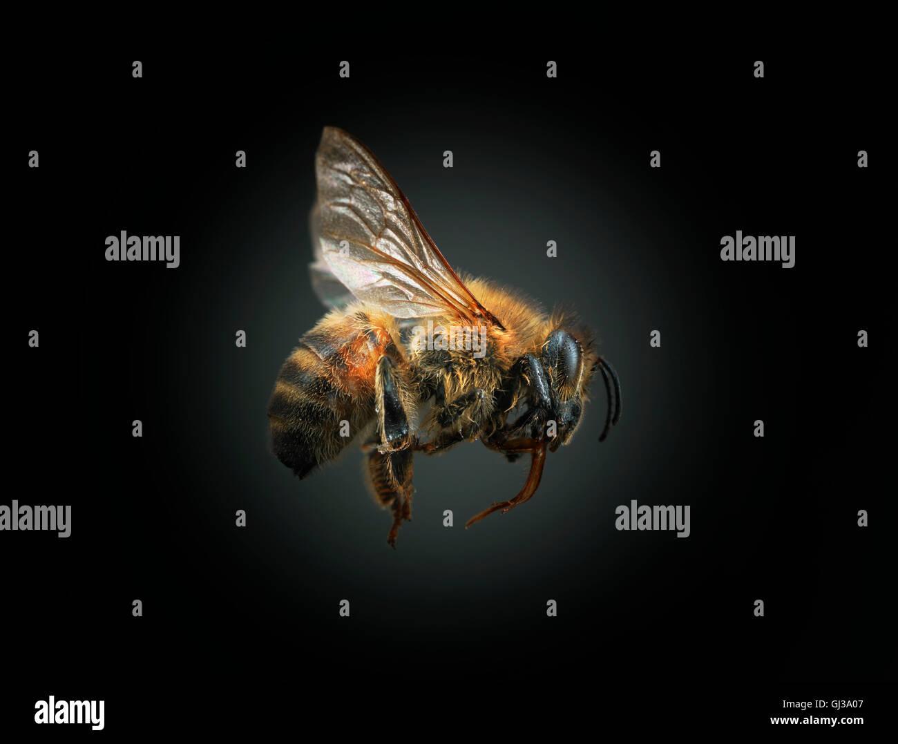 Biene auf schwarzem Hintergrund Stockbild