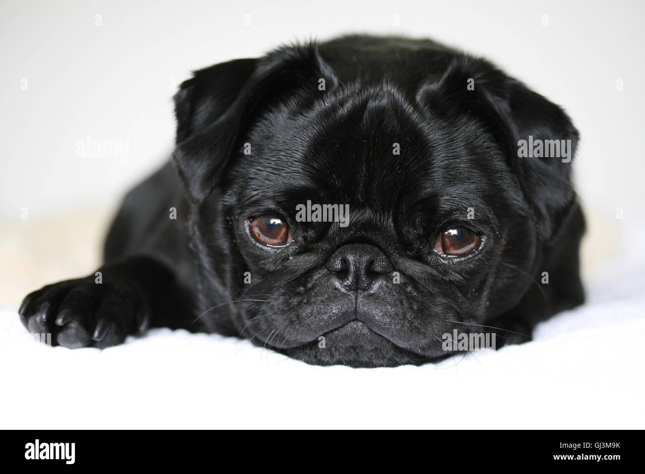 süße schwarze 2-jährige Mops Rüde. entspannt und schläfrig Stockbild