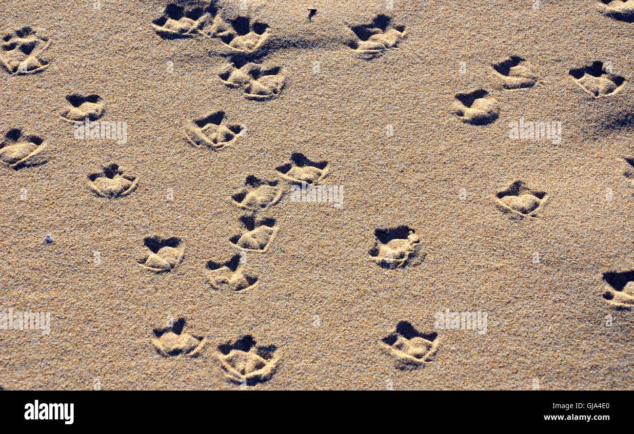 Möwe, die Schwimmhäute Fußspuren (Tracks) auf einem sandigen Strand Stockbild