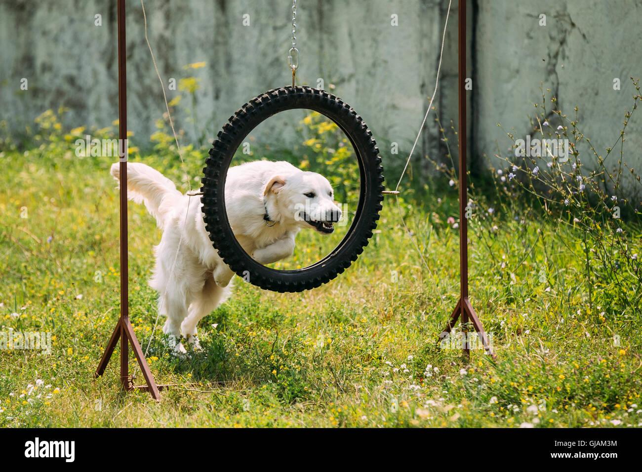 der ausgebildete wei e gelbe labrador retriever hund durch springen ausgesetzt reifen reifen. Black Bedroom Furniture Sets. Home Design Ideas
