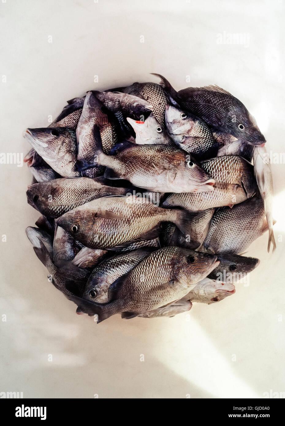 Ein Cluster von Meeresfisch, bekannt als der weiße oder gemeinsame Grunt (Haemulon Plumieri) unteren Rand einen Stockbild