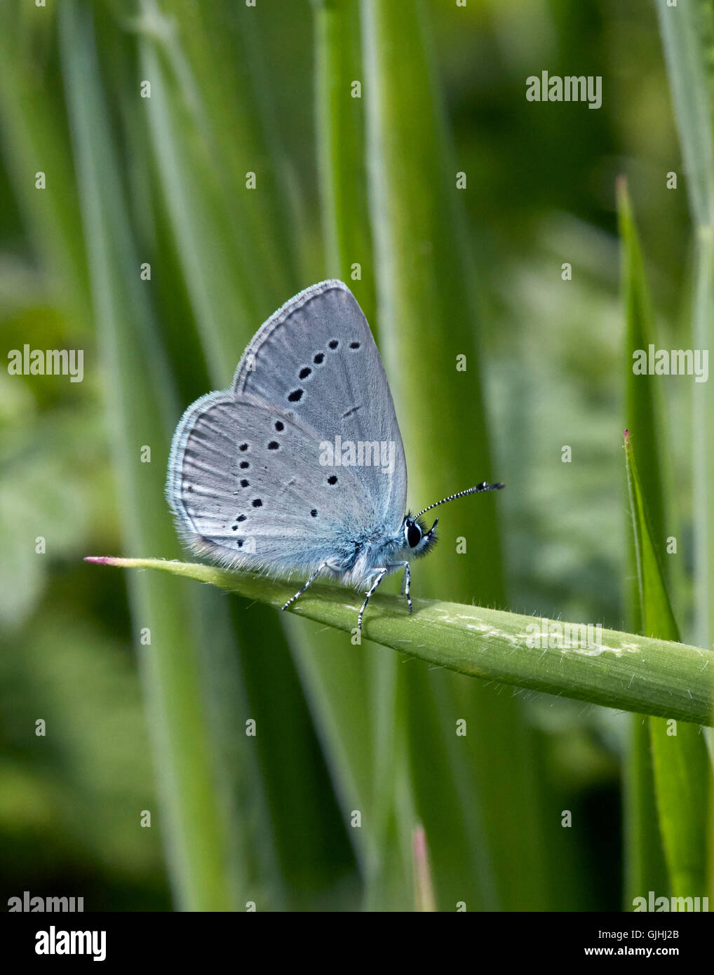 Kleiner blauer Schmetterling thront auf dem Rasen.  Howell Hill Naturschutzgebiet, Ewell, Surrey, England. Stockbild