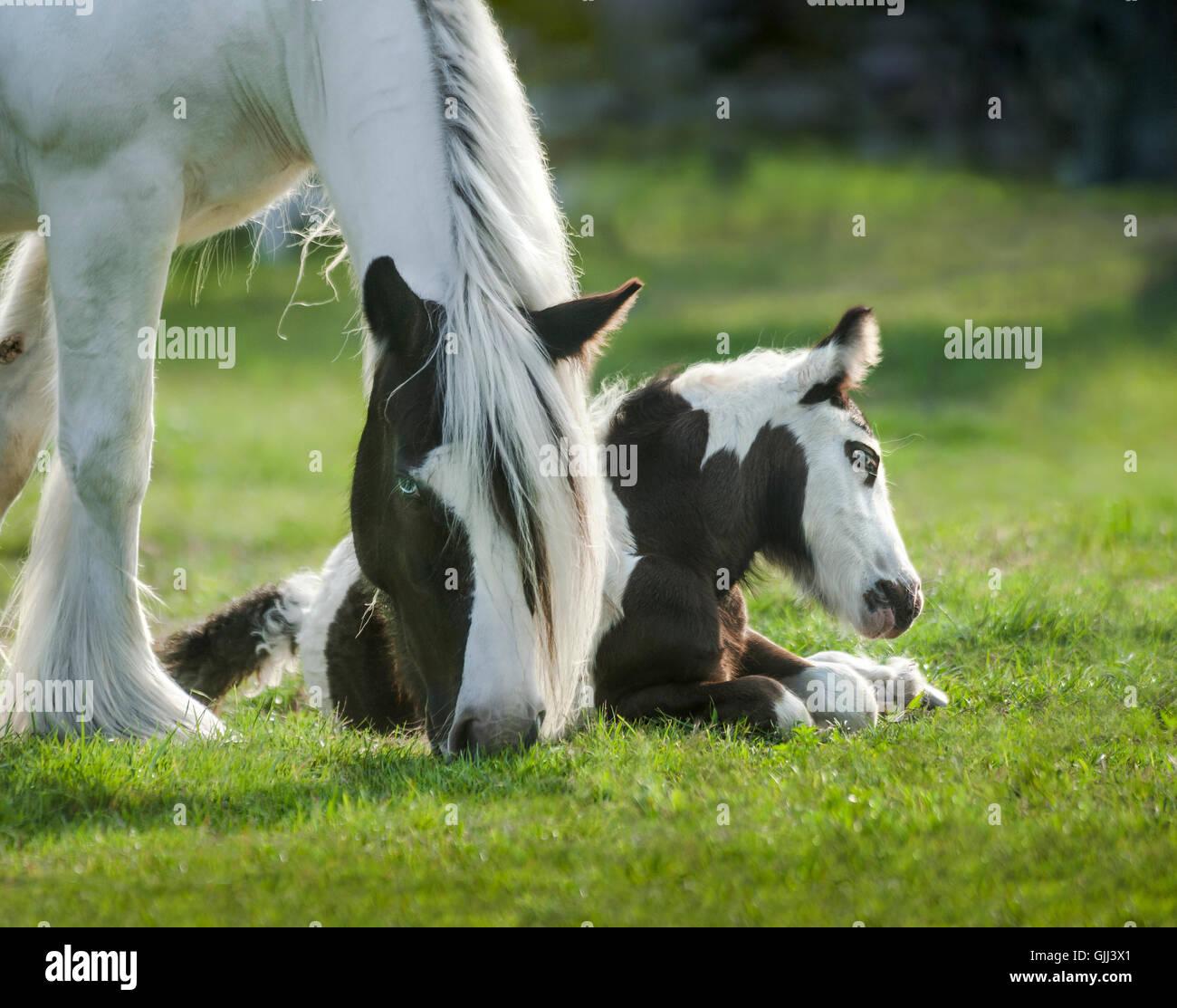 Wachsamen Gypsy Vanner Pferde Stute mit Fohlen im Grass liegen Stockbild