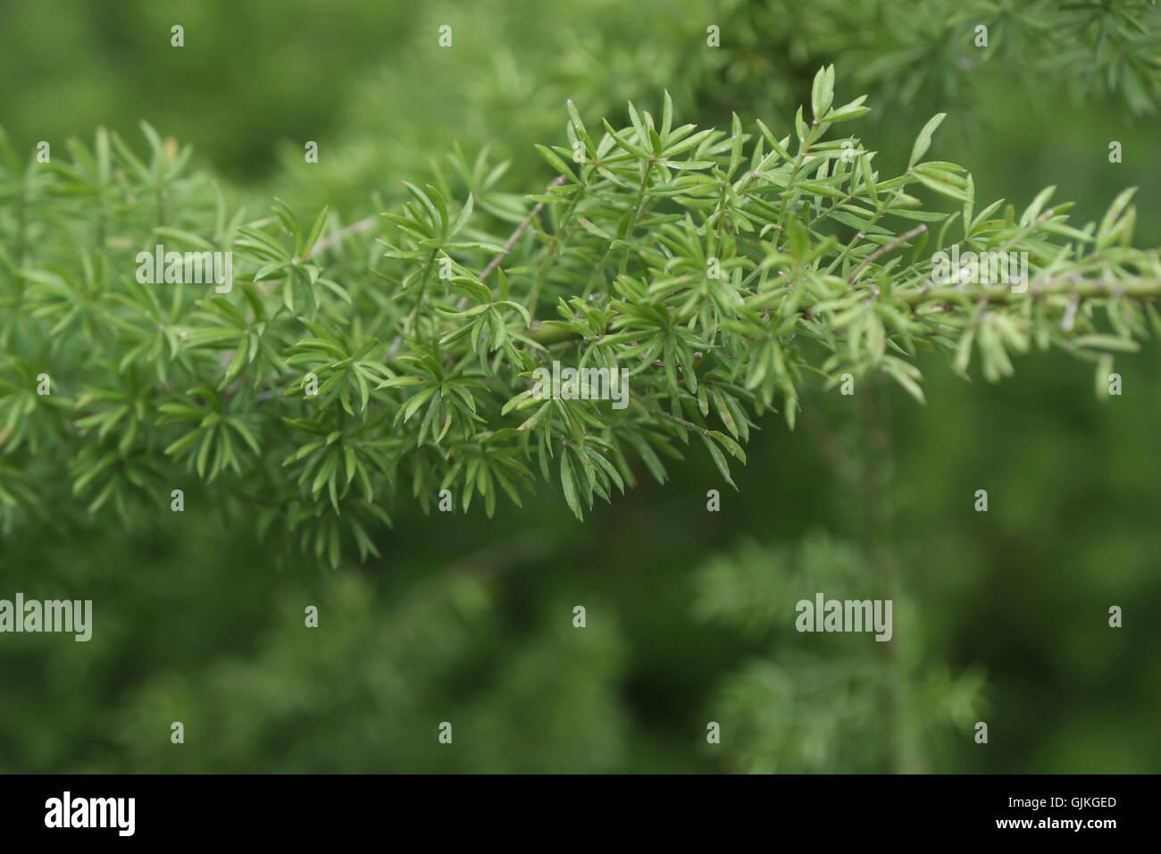 Zweig der Asparagaceae, Spargel densiflorus Stockbild