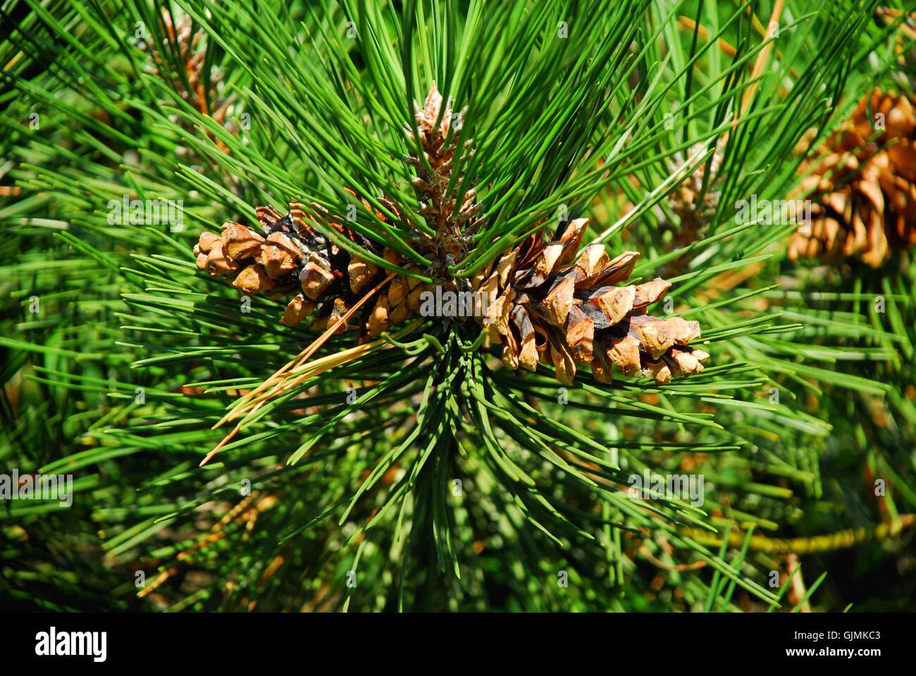 Baum kiefer schwarz stockfoto bild 114780291 alamy - Kiefer baum kaufen ...