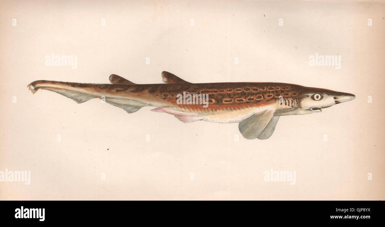 Scyllium Stockfotos & Scyllium Bilder - Alamy