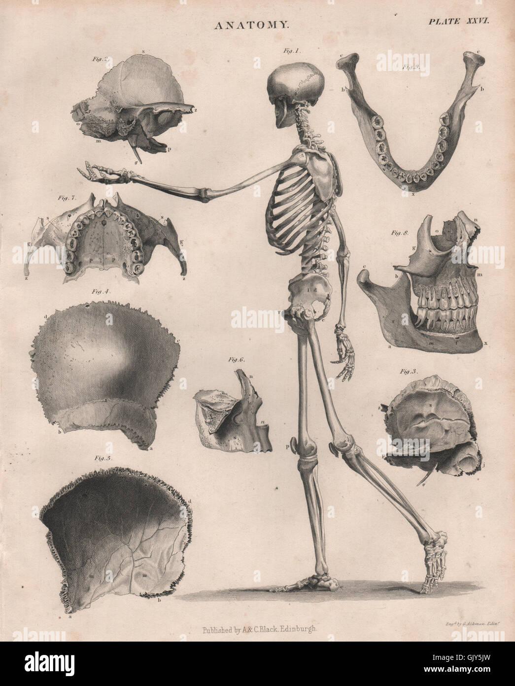 Engraved Human Skull Stockfotos & Engraved Human Skull Bilder - Alamy
