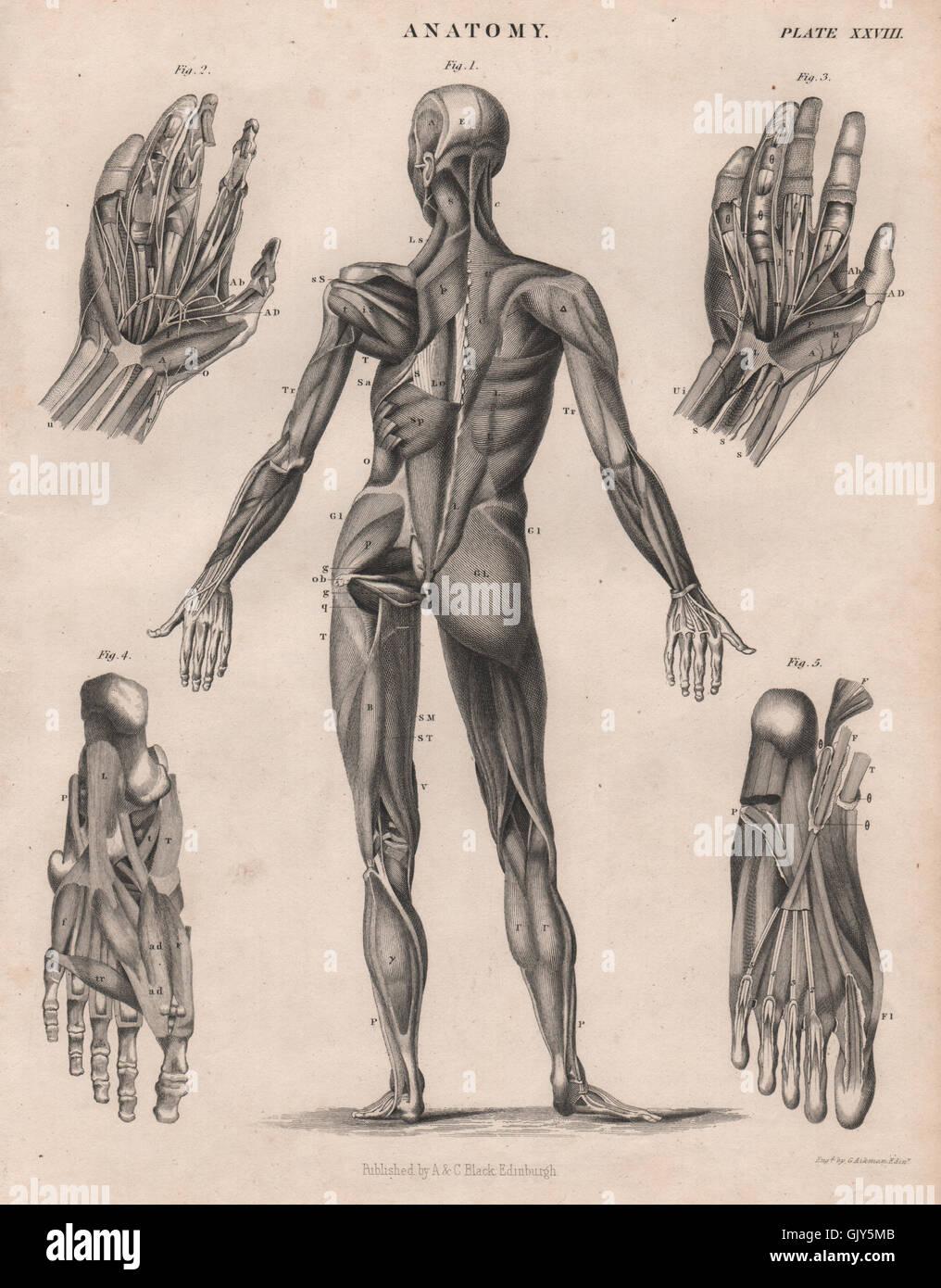 Anatomie. Menschlichen Körper zurück. Hände-Füße-Muskeln. BRITANNICA ...