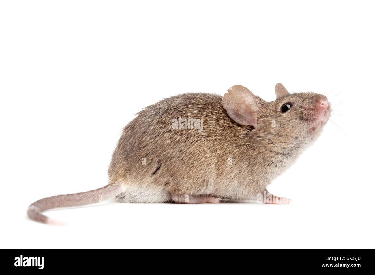Haustier Nager Maus Stockbild