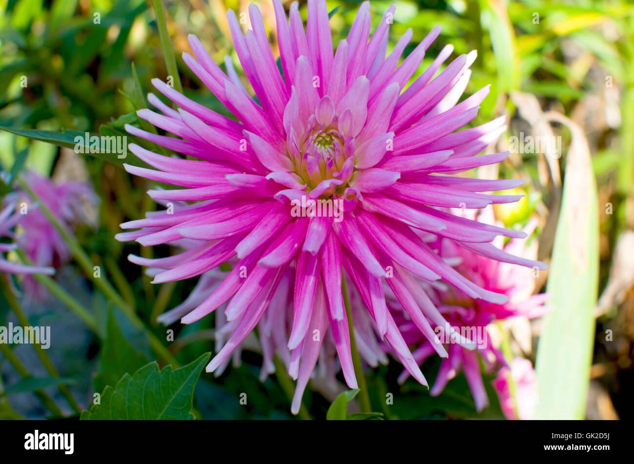Kultivierte Blumen Dahlie Schön Rosa, Blumen, Garten, Rosa, Garten, Pflanzen,  Sommer, August, Blüte, Pflanzen