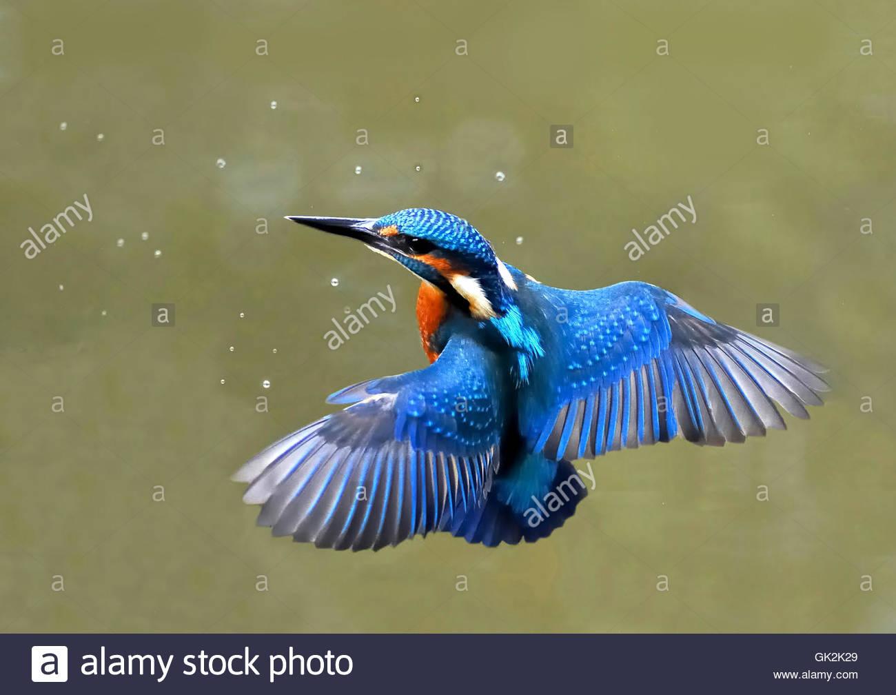 Eisvogel im Flug Stockbild
