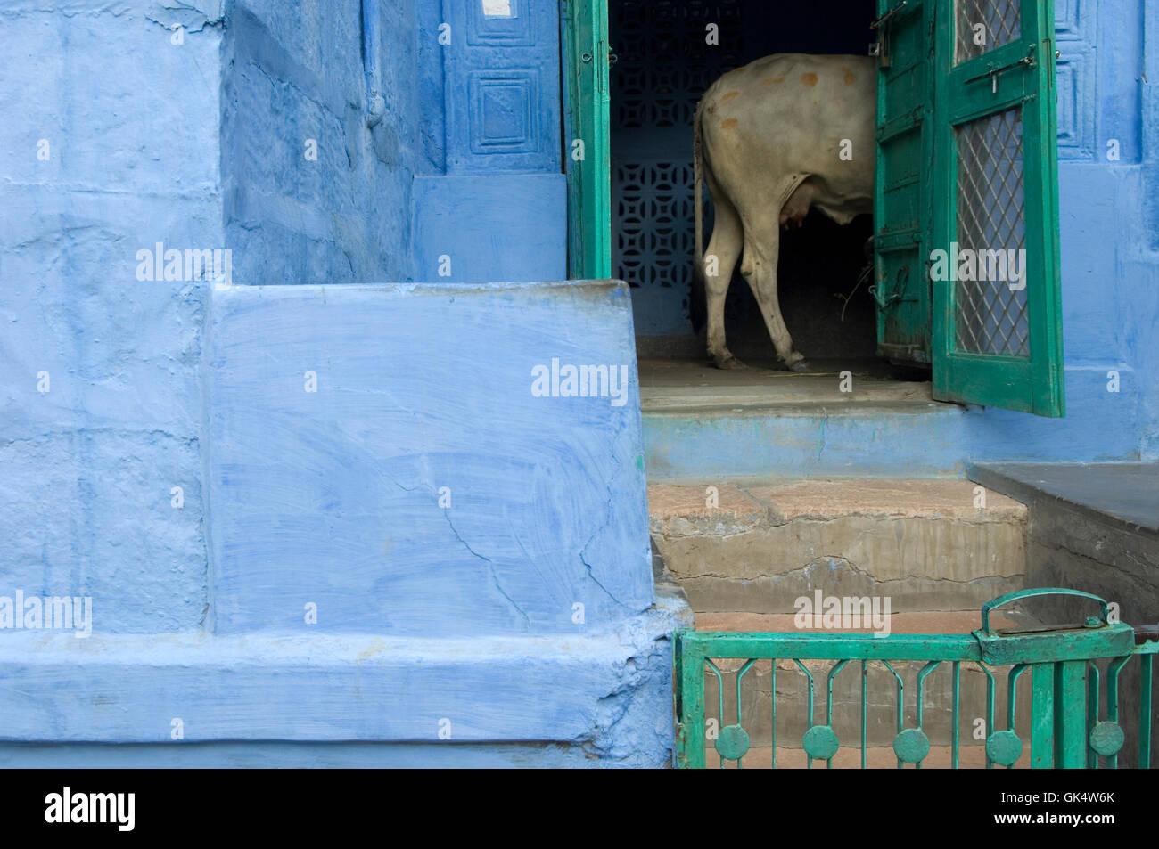 2009, Jodhpur, Indien---Kuh in Tür blau gestrichenen Hauses in alten Jodhpur---Bild von Jeremy Horner © Stockfoto
