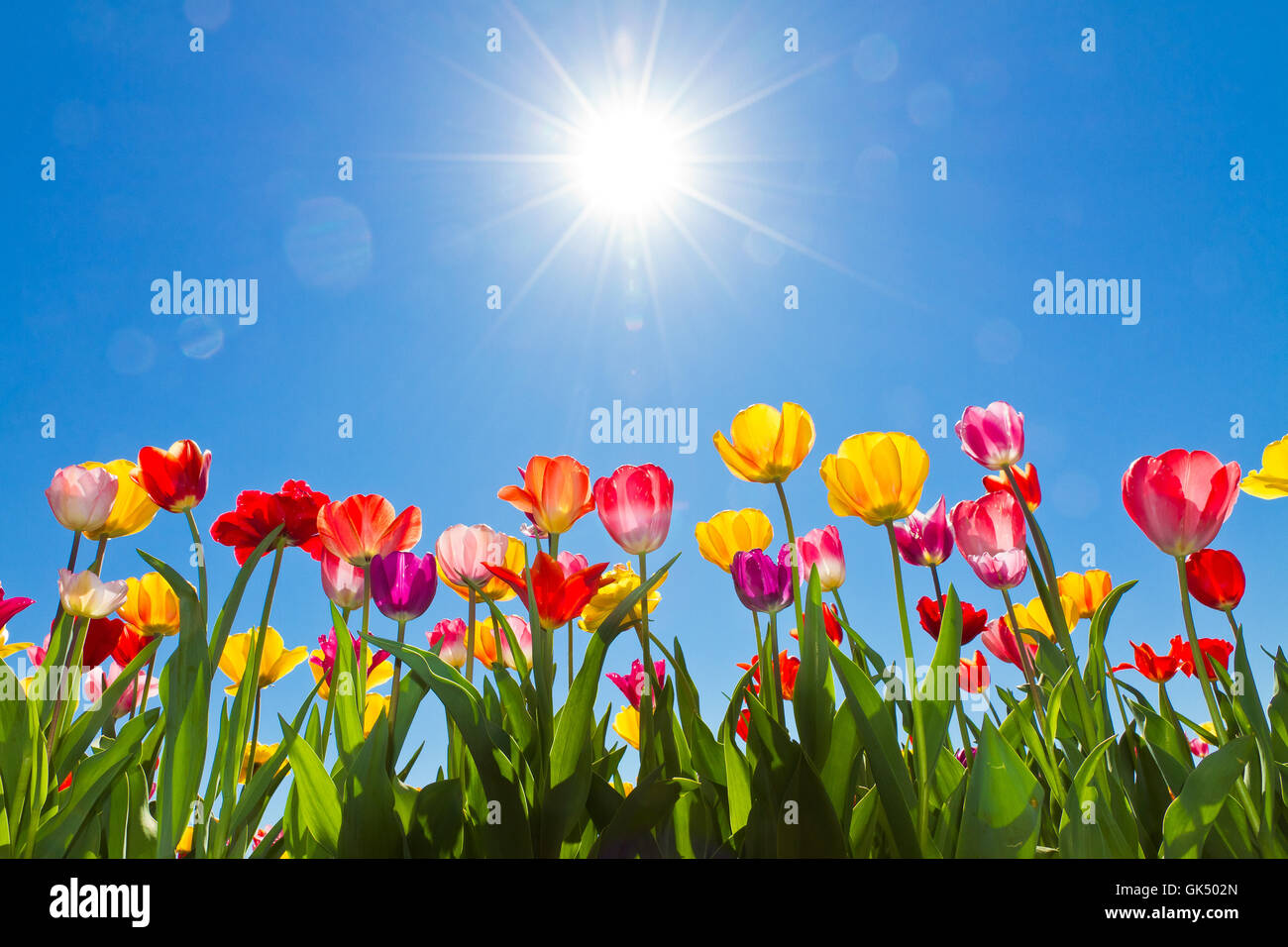 tulpen in der sonne stockfoto bild 115050509 alamy. Black Bedroom Furniture Sets. Home Design Ideas