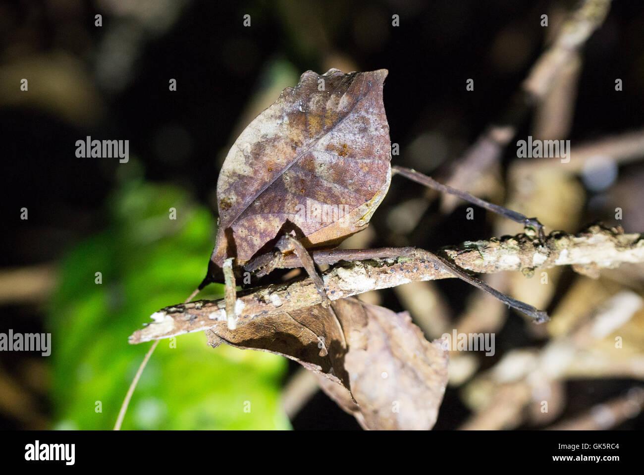 Ein Blatt mimischen Insekt oder Blatt mimischen Grashuepfer, Costa Rica, Mittelamerika Stockbild