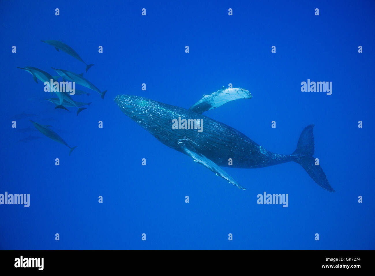 Hawaiian Spinner-Delfine oder Grays Spinner Delphin, Stenella Longirostris Longirostris, Bogen-Reiten auf Buckelwal, Stockfoto