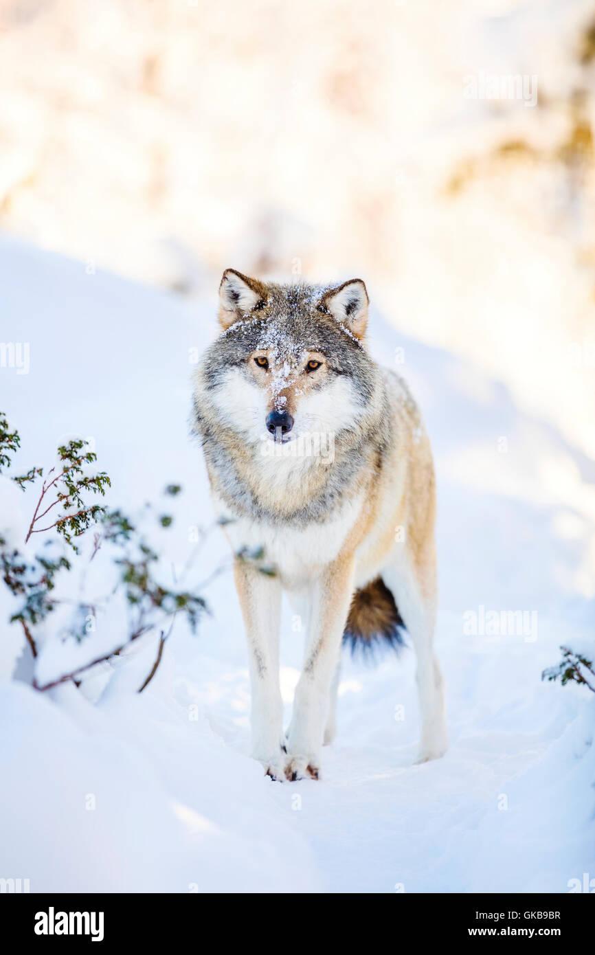 Verschneite Wolf steht im wunderschönen Winterwald Stockbild