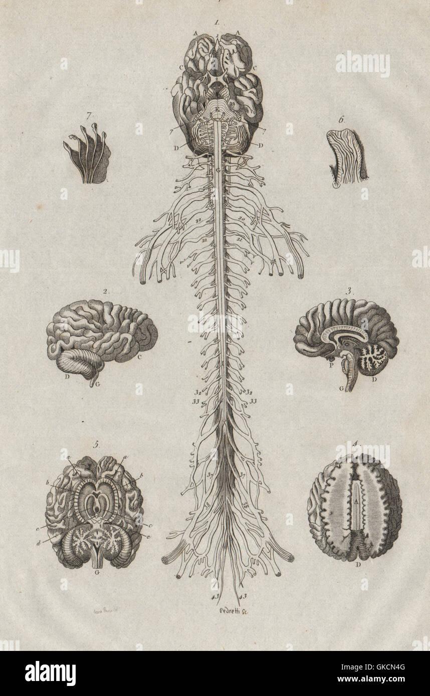 Anatomie: Gehirn und Rückenmark, antiken Drucken 1834 Stockfoto ...