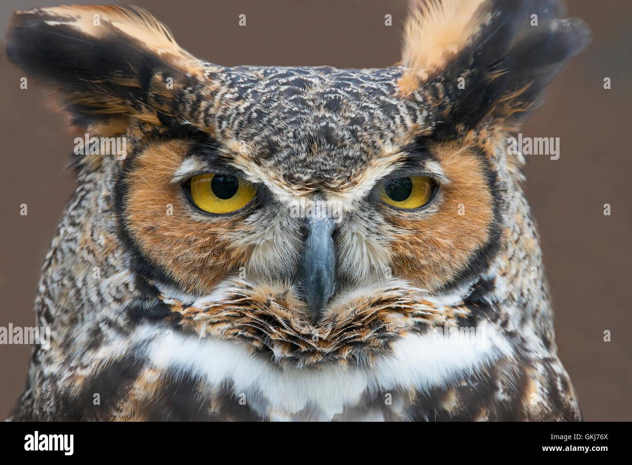 Gesicht Blick auf große gehörnte Eule Bubo Virginianus östlichen Nordamerika Stockbild
