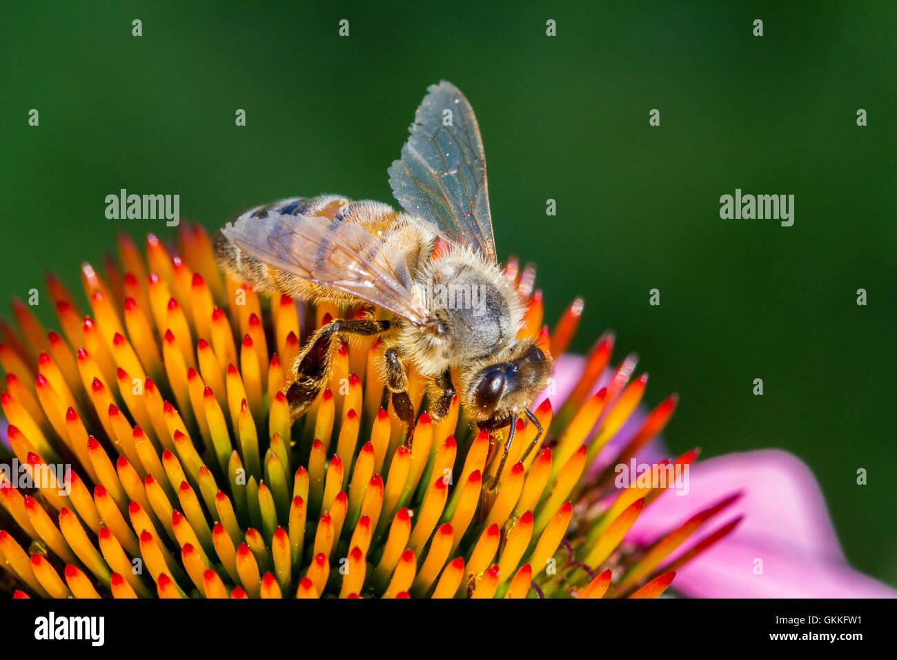 Bienen bestäuben eine Blume Stockbild