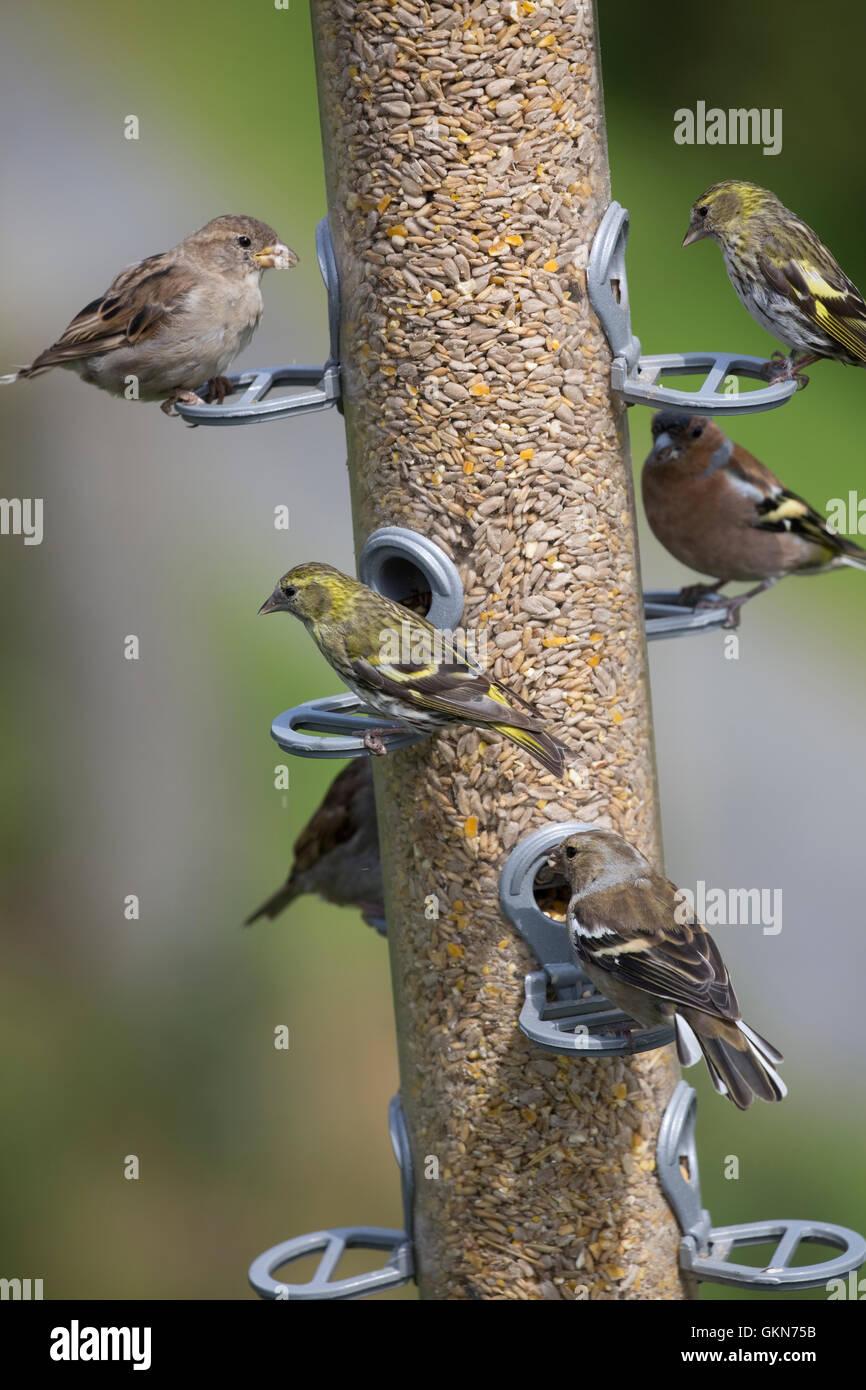Mehrere Vögel auf große Vogelhäuschen Bwlch Nant Yr Arian Visitor Centre Ceredigion Mid Wales Stockbild
