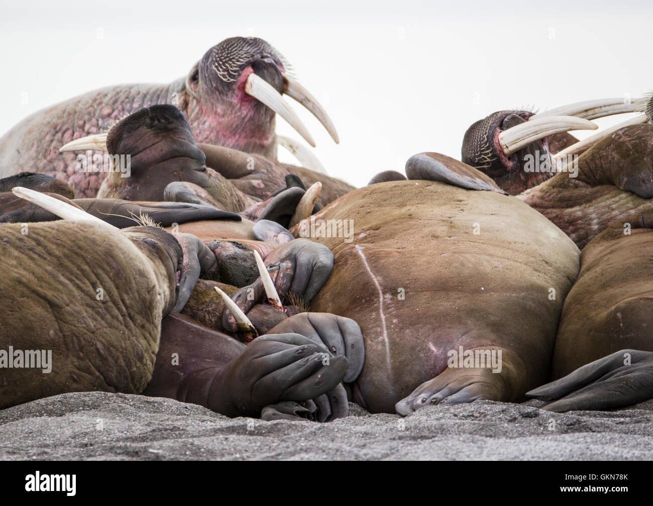 Walross haulout Stockfoto