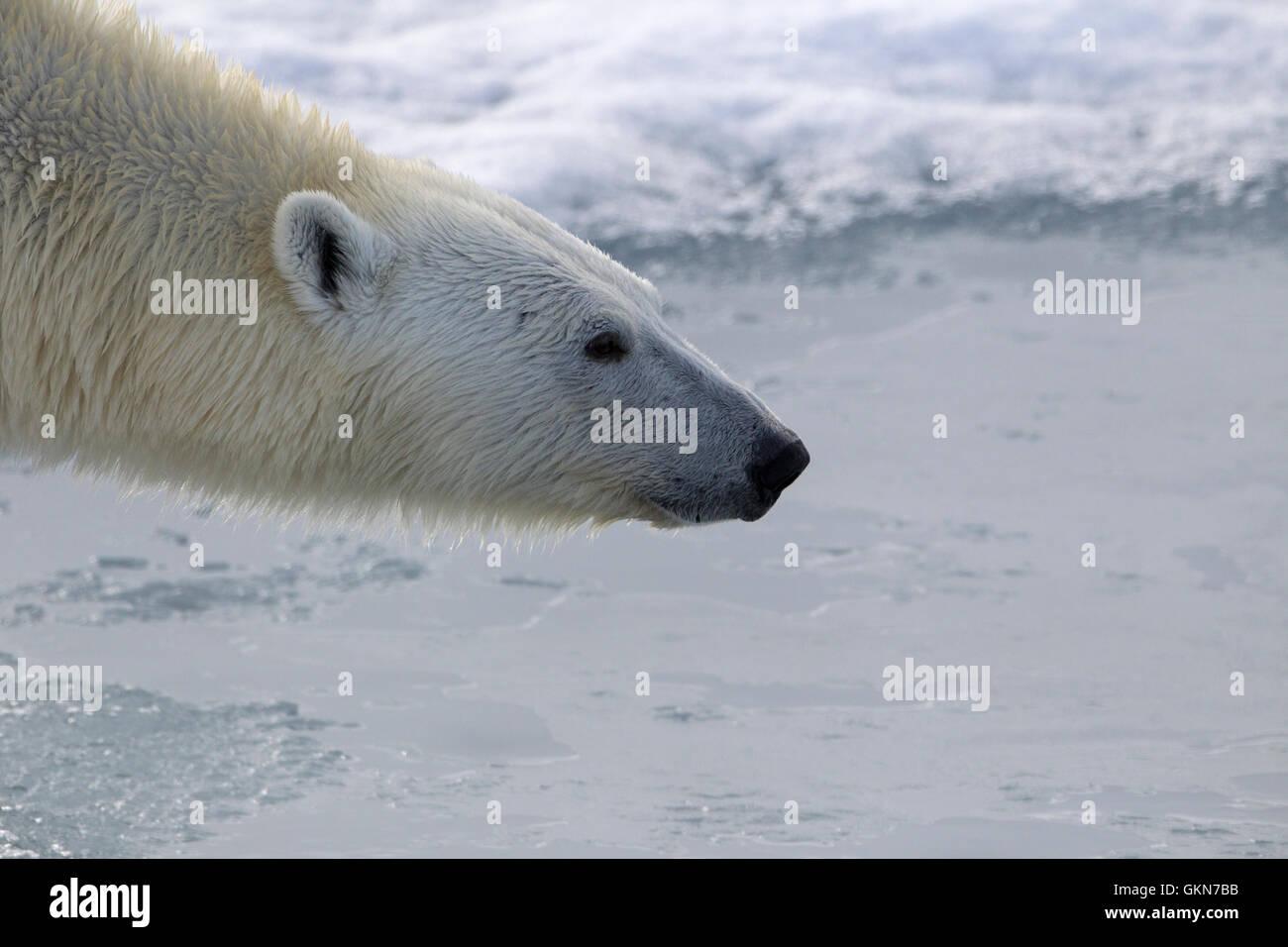 Gesicht der Eisbär in Nahaufnahme Stockbild