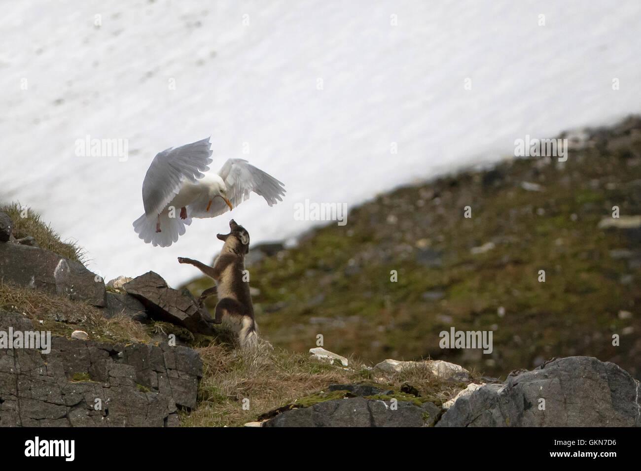 Glaucous Gull und Polarfuchs Konfrontation Stockbild