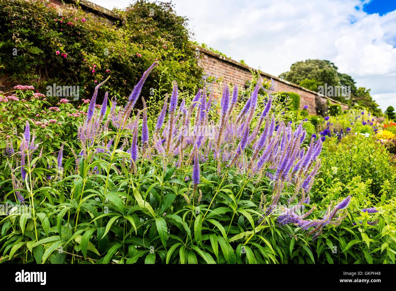 Groß blau blühende Pflanze Wildform in einer krautigen Grenze. Stockbild