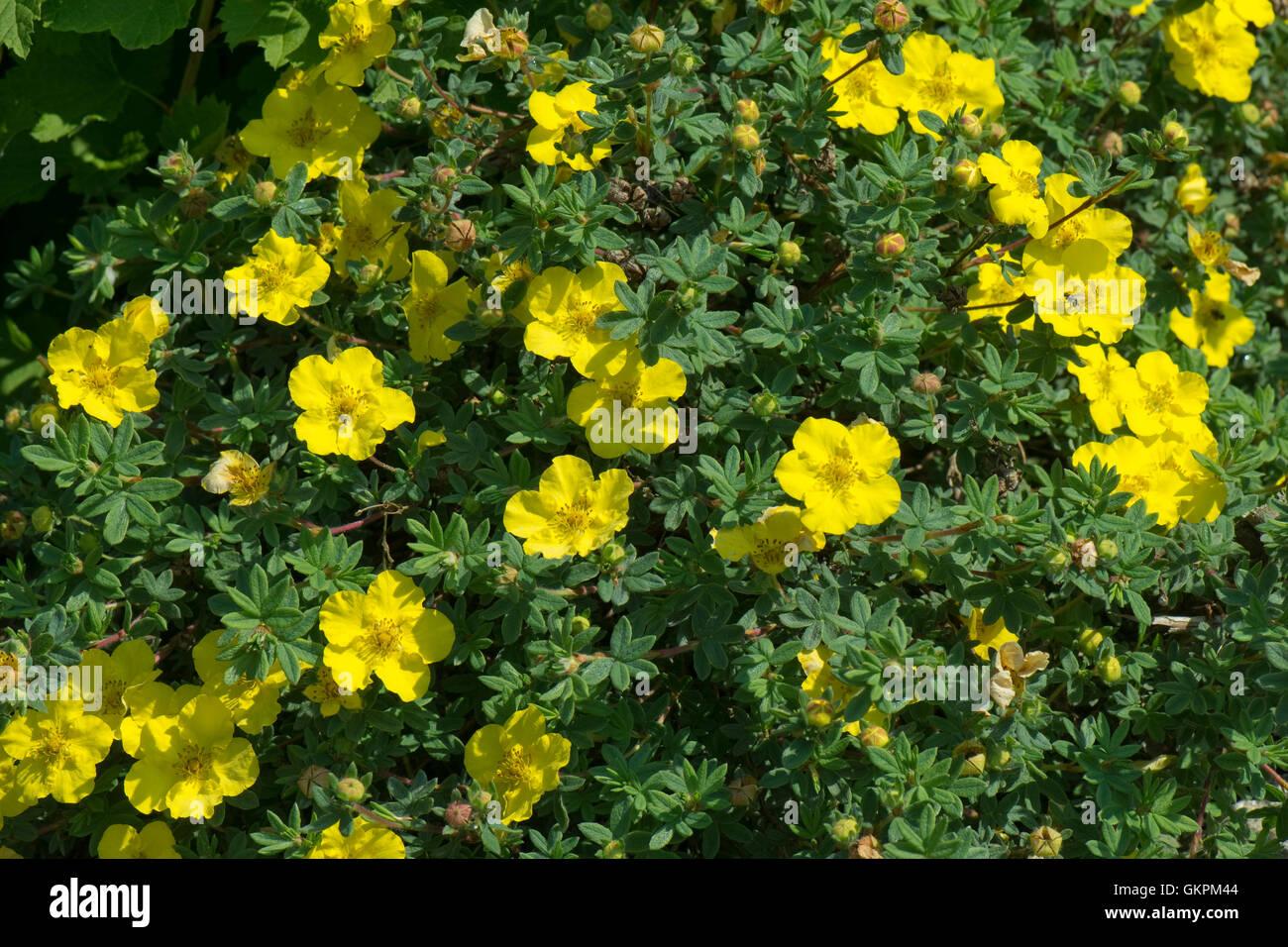 """Gelben Blüten der strauchartigen Fingerkraut, Potentilla Fruticosa """"Medizin-Rad-Berg"""", Berkshire, Stockbild"""