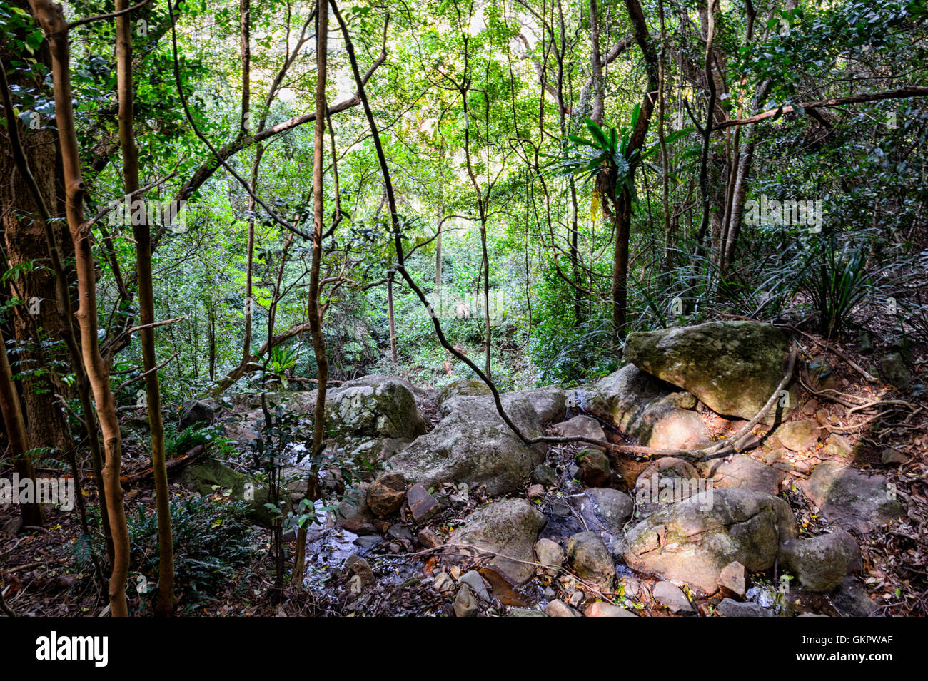 Lianen wachsen in den gemäßigten Minnamurra Rainforest Centre, New South Wales, NSW, Australien Stockbild