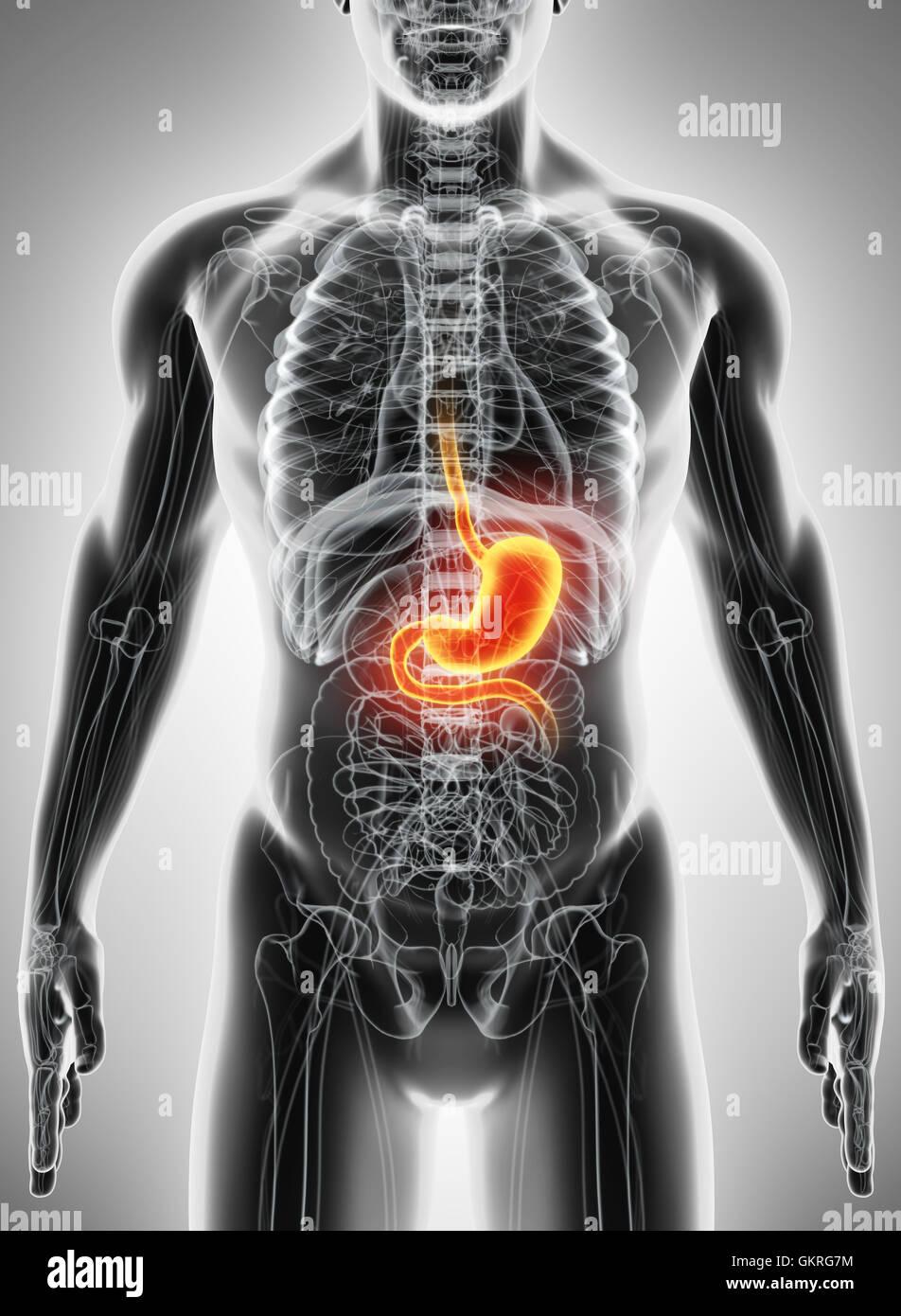 Niedlich Menschliche Anatomie Und Physiologie Des Verdauungssystems ...