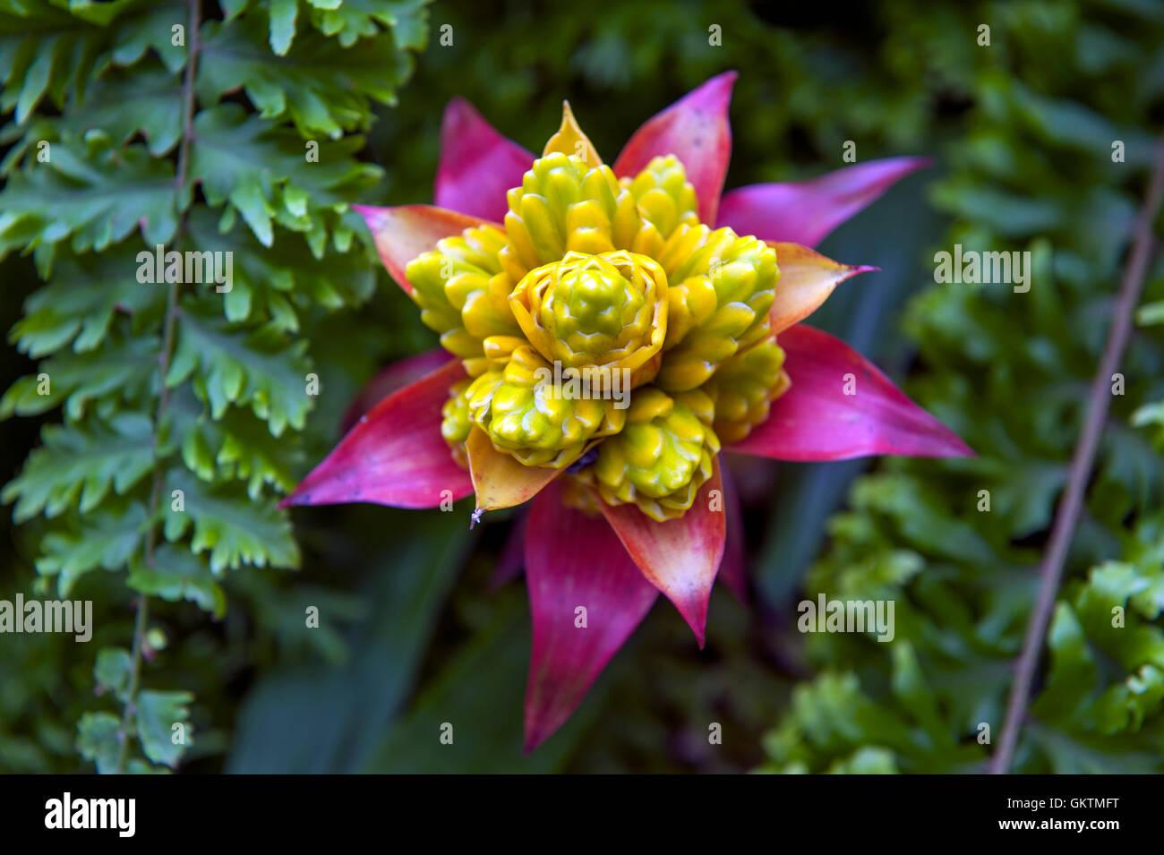 Guzmanie Bromelie (Bromelia), Pflanzen für innen mit bunten ...