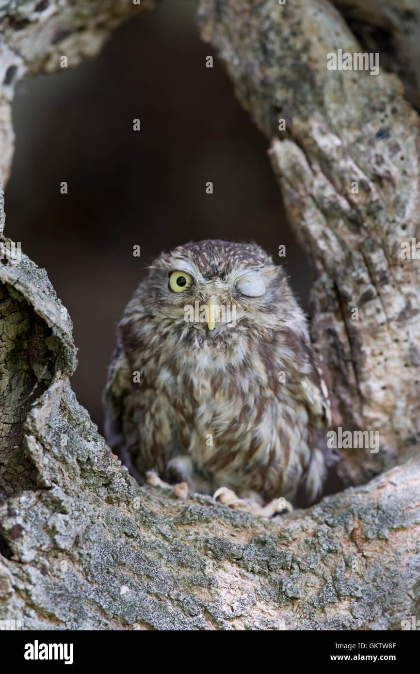 Kleine Eule; Athene Noctua einzelne Winking UK Stockbild