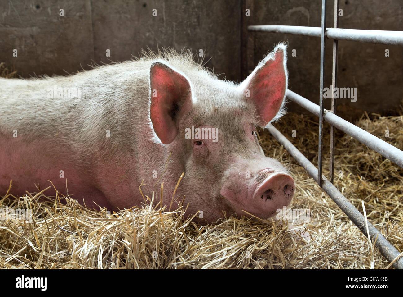 Wildschwein auf Stroh, Stift. Stockbild