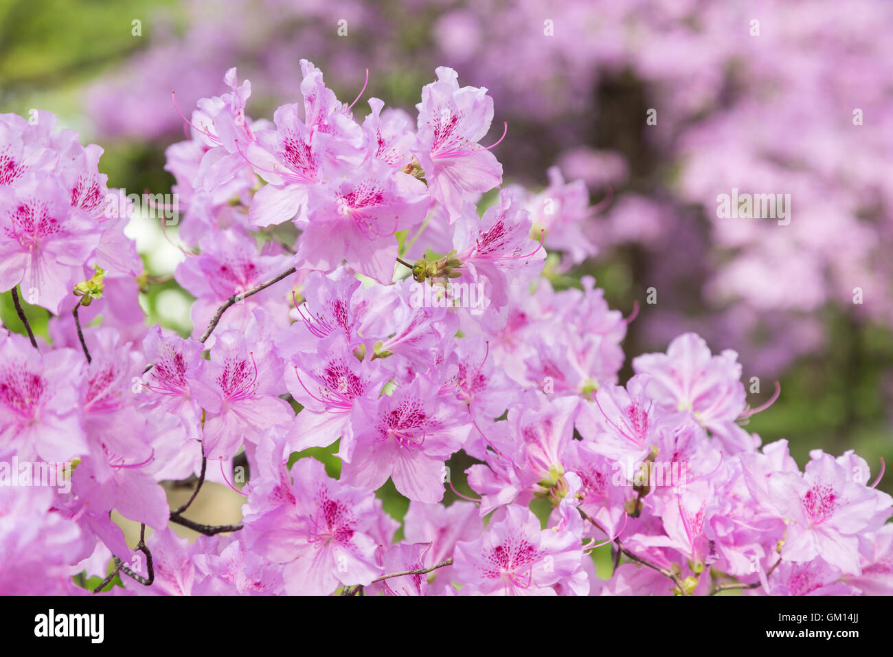 pink rhododendron stockfotos pink rhododendron bilder alamy. Black Bedroom Furniture Sets. Home Design Ideas