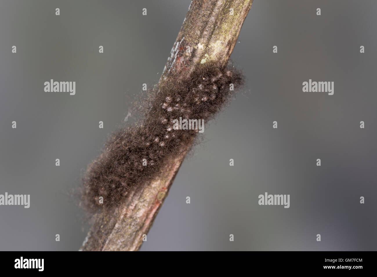 Frühlings-Wollafter, Ei, Eier, Gelege, Wollafter, Eigelege, Eriogaster Lanestris, Bombyx Lanestris, kleine Stockbild