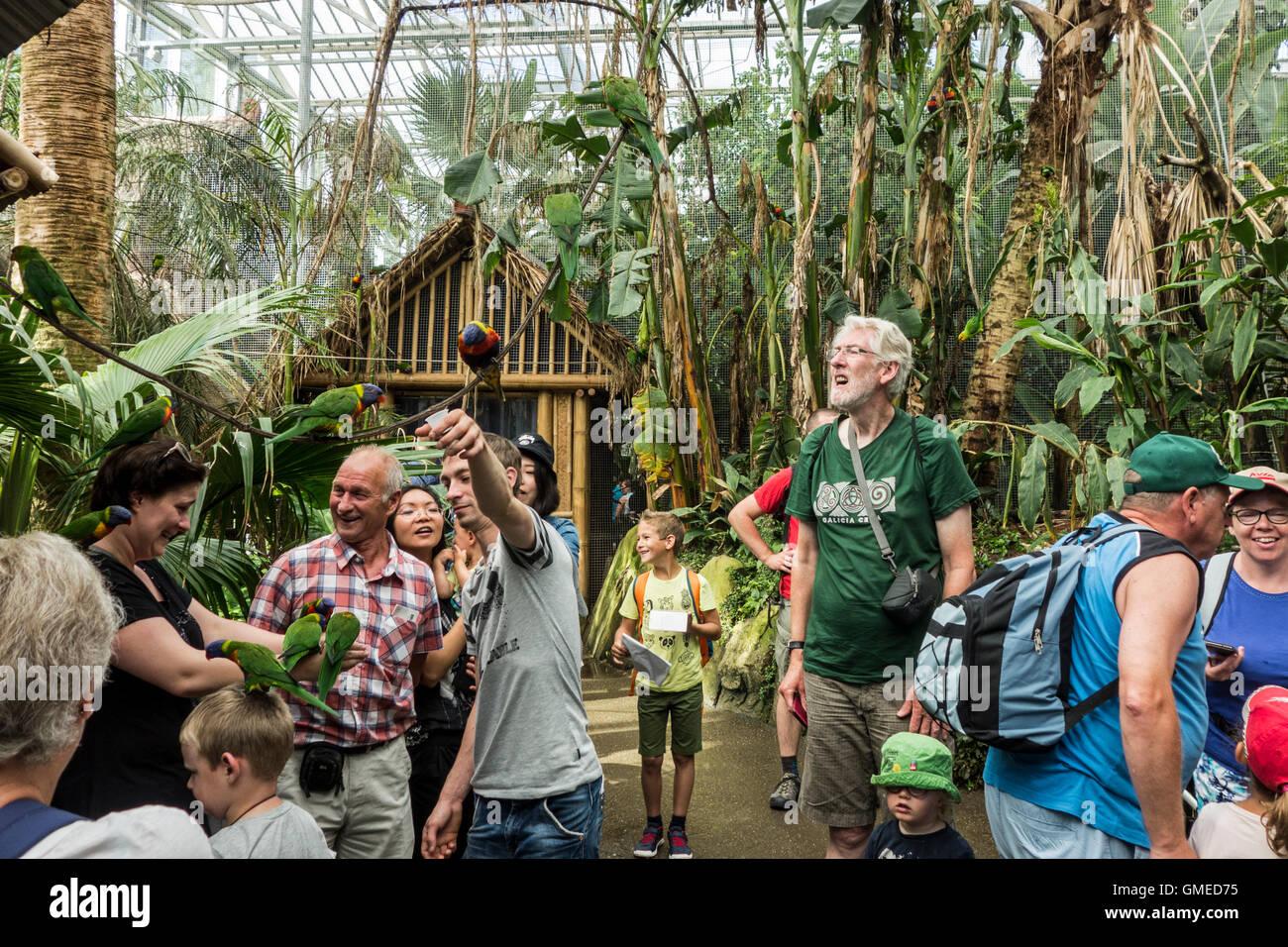 Besucher, die Fütterung zu zähmen Allfarbloris / Swainsons Lorikeet (Trichoglossus Moluccanus) von Hand Stockbild