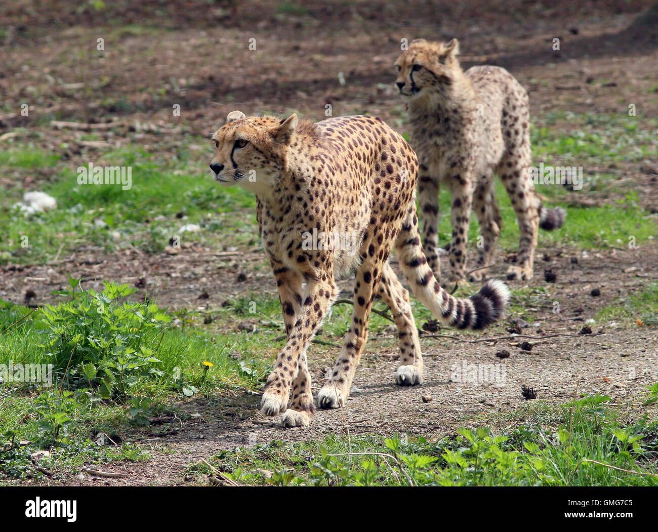 Weiblichen afrikanischen Cheetah (Acinonyx Jubatus) mit einer heranwachsenden Jungen Stockbild
