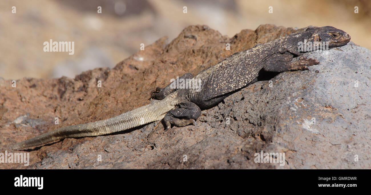 Gemeinsamen Chuckwalla (Sauromalus Ater) getarnt auf einem Felsen. Stockfoto
