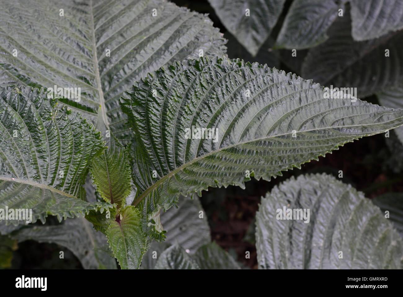 Strukturierte, dunkelgrüne Blätter für Hintergründe mit starken Adern Stockbild