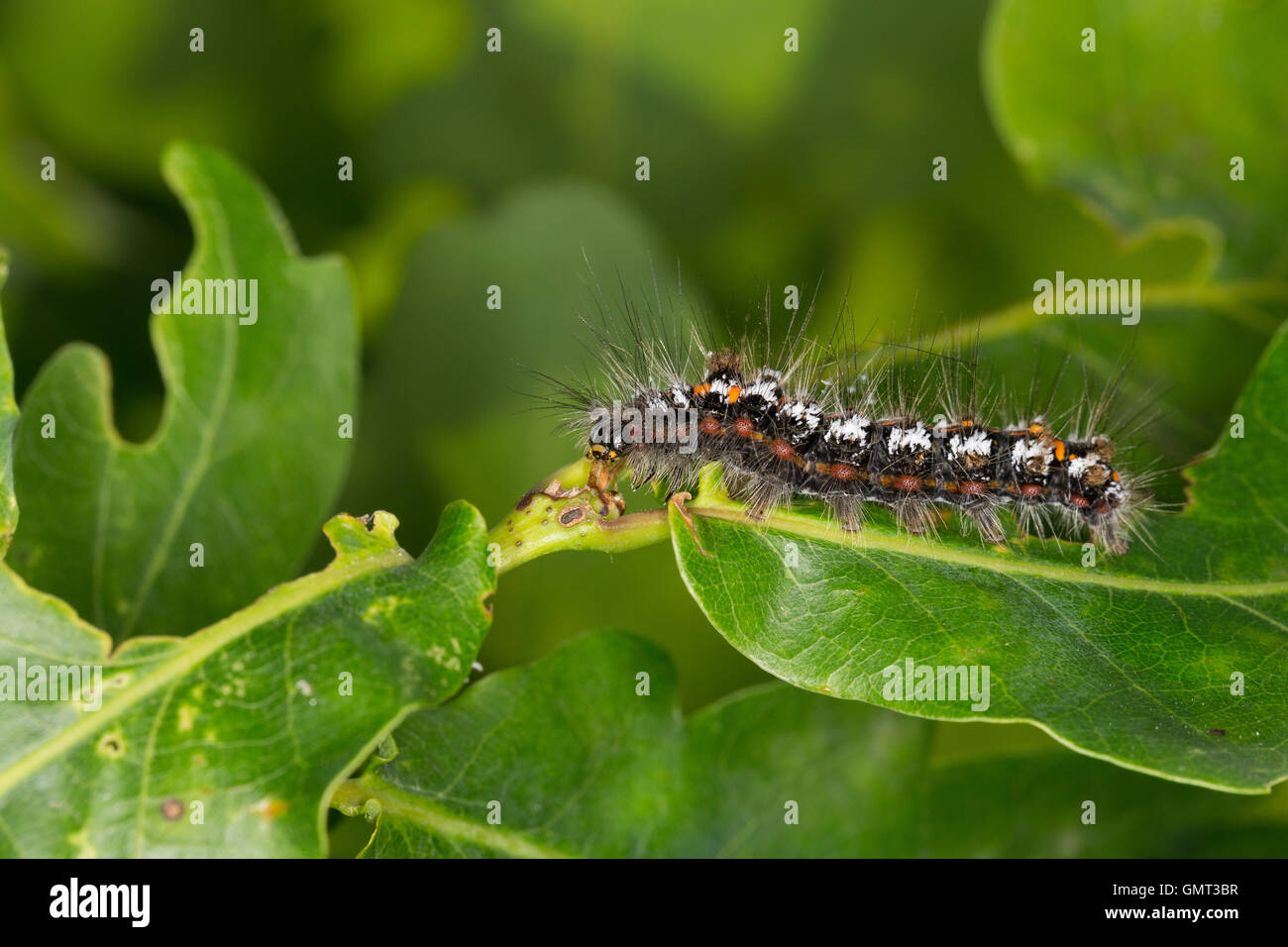 Schwan, Raupe, Euproctis Similis, Porthesia Similis, Sphrageidus Similis, gelb-Leitwerk, Gold-Tail, Goldtail Motte, Stockbild