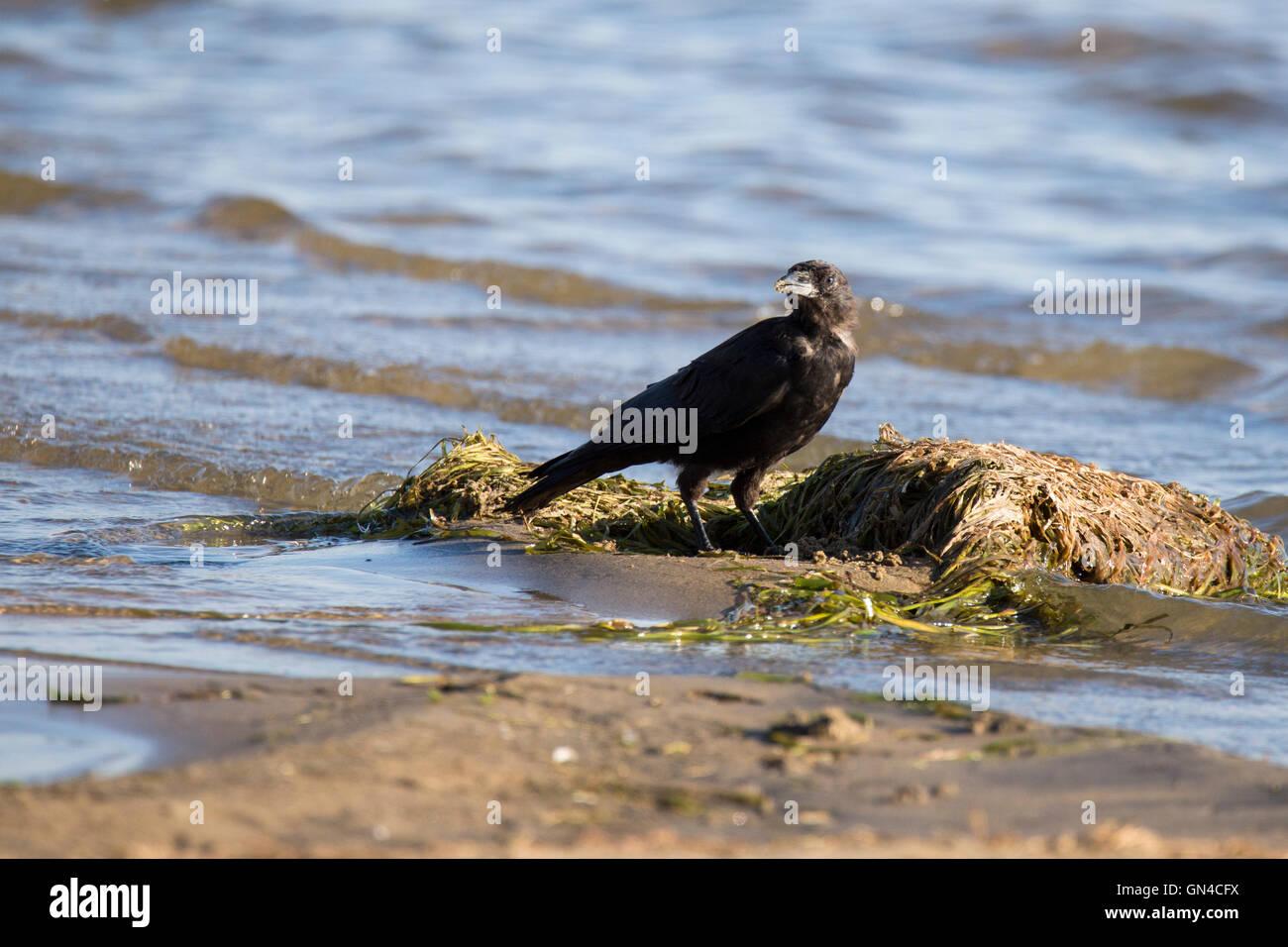 Amerikanische Krähe (Corvus Brachyrhynchos) Trinkwasser Stockbild