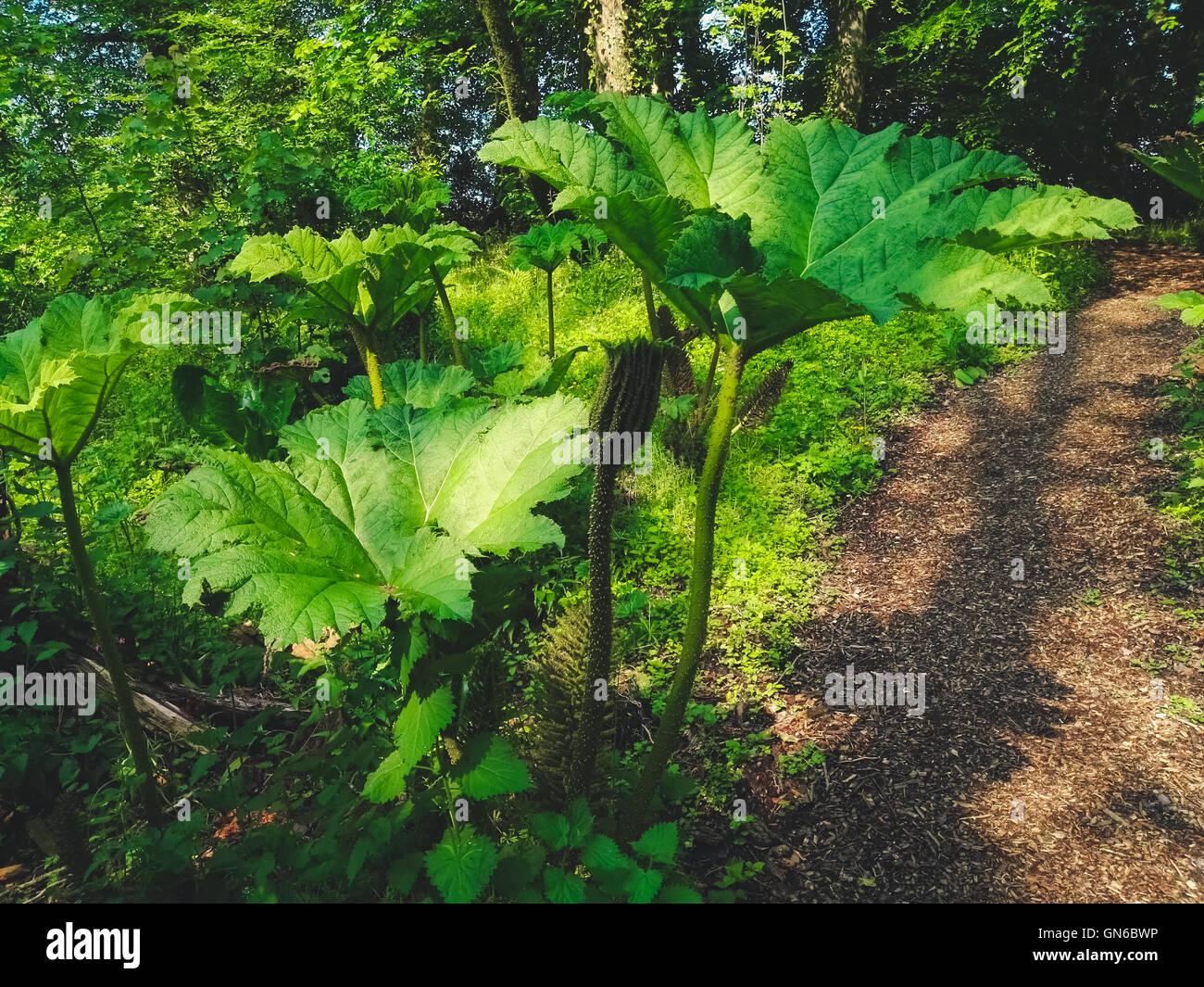 Pflanze Mit Großen Blättern pflanze mit großen blättern in einem garten stockfoto bild