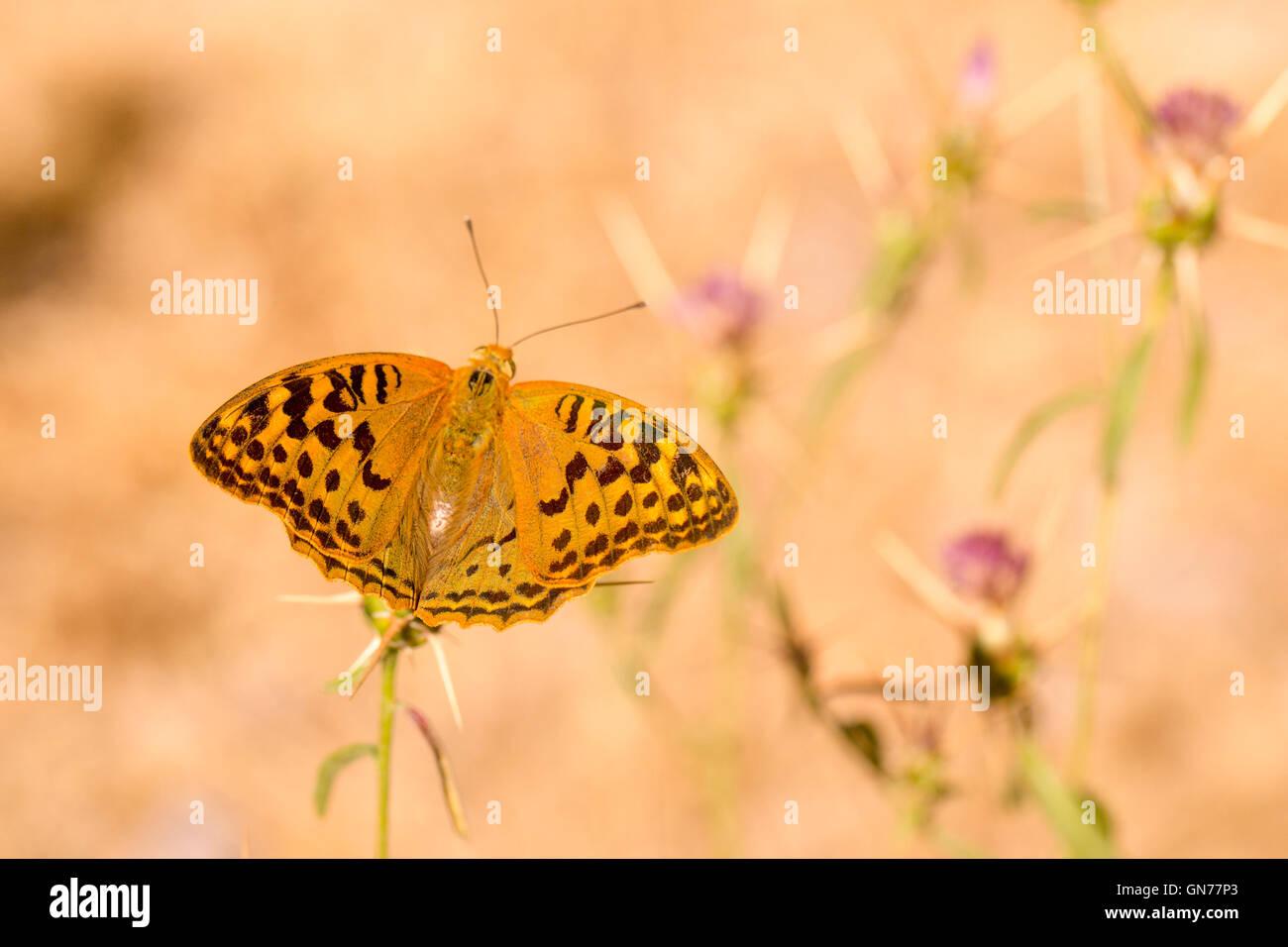 Kardinal Schmetterling (Argynnis Pandora). Dieser Schmetterling ist in Südeuropa verbreitet und findet sich Stockbild