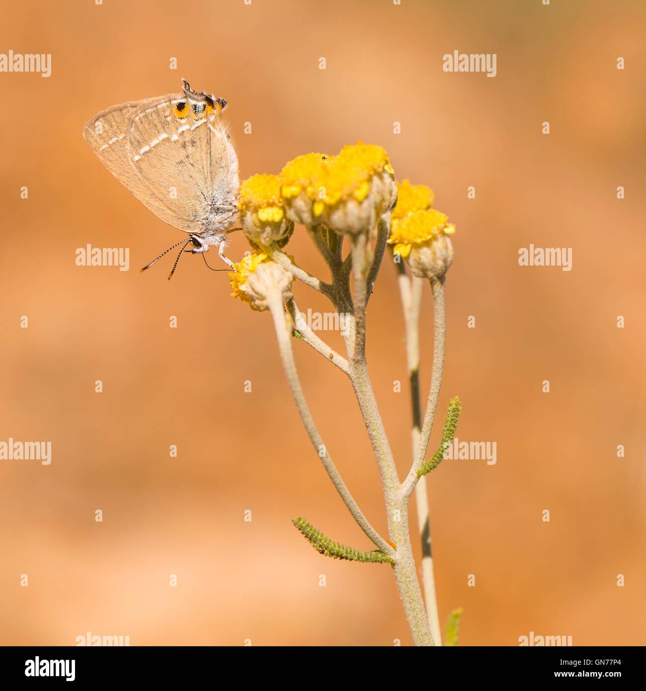 Gerhard Schwarz-Zipfelfalter (Satyrium Abdominalis) ist ein Schmetterling in der Familie Lycaenidae. Fotografiert Stockbild