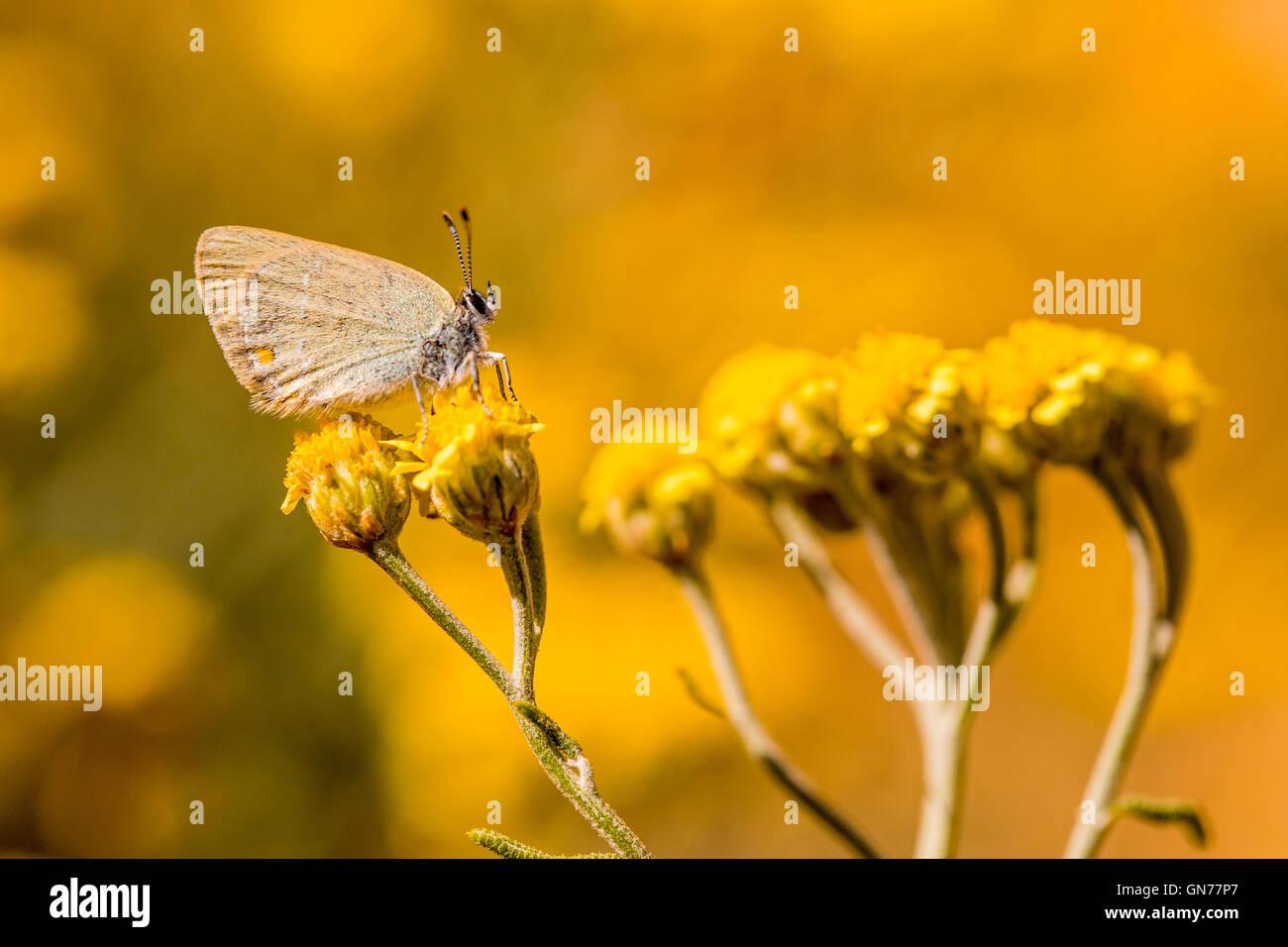 Rebel Zipfelfalter (Satyrium Myrtale) ist ein Schmetterling in der Familie Lycaenidae. Fotografiert in Israel im Stockbild