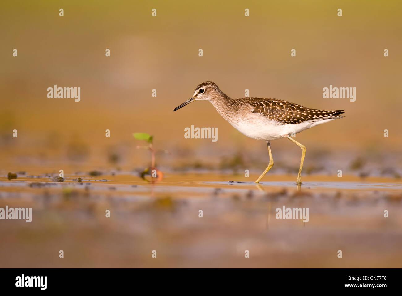 Bruchwasserläufer (Tringa Glareola). Dieser Vogel ist eine Wathose, die im seichten Wasser oder Watt in oder Stockbild