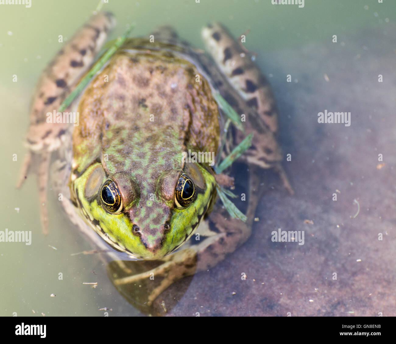 Bullfrog sitzen im Wasser in einem Sumpf. Stockbild