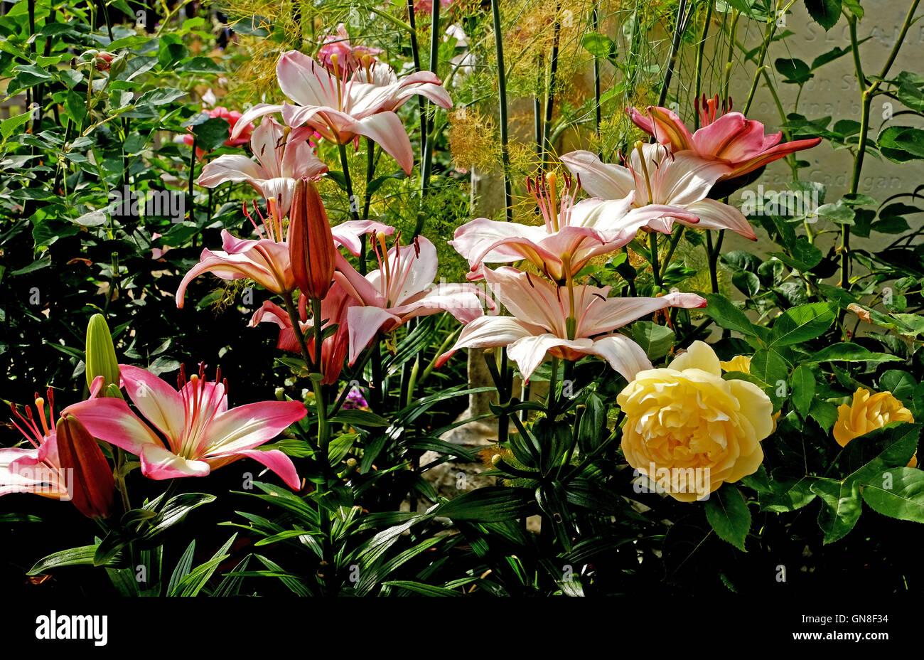 Gemischte asiatische Lilien im Garten mit einzelnen rose Stockbild